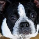 Boston-Terrier-Piglet