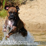 Boxer-Jumping-Water-Ollie