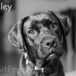 riley-lab-boxer-mix