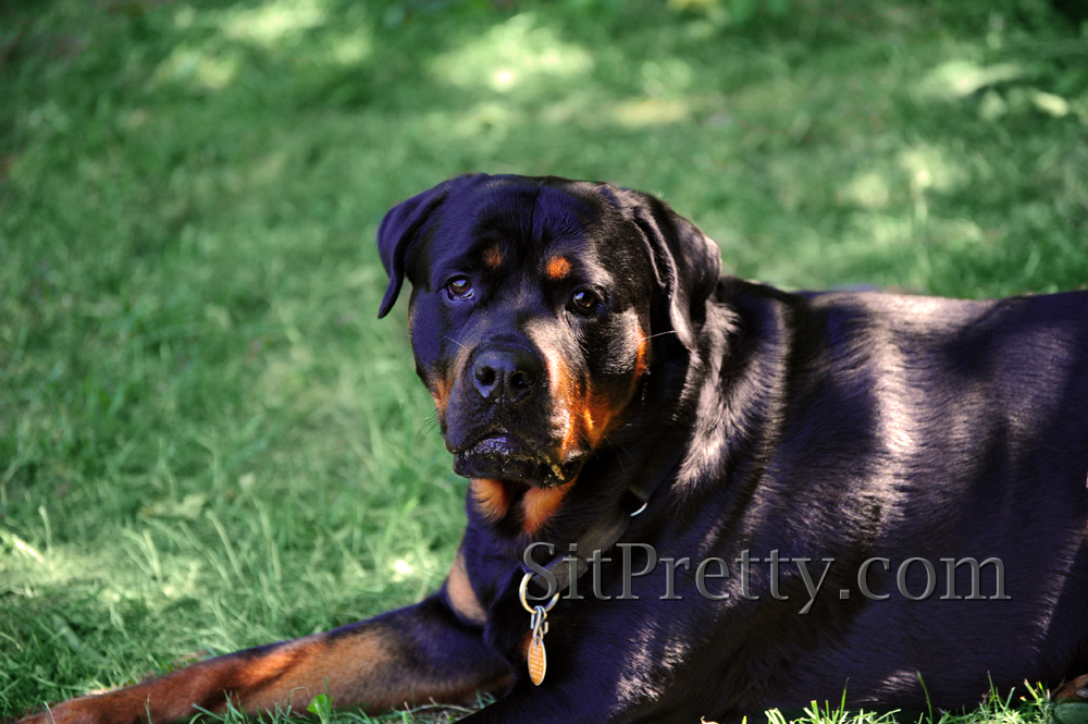 rottweiler at Freedom Park