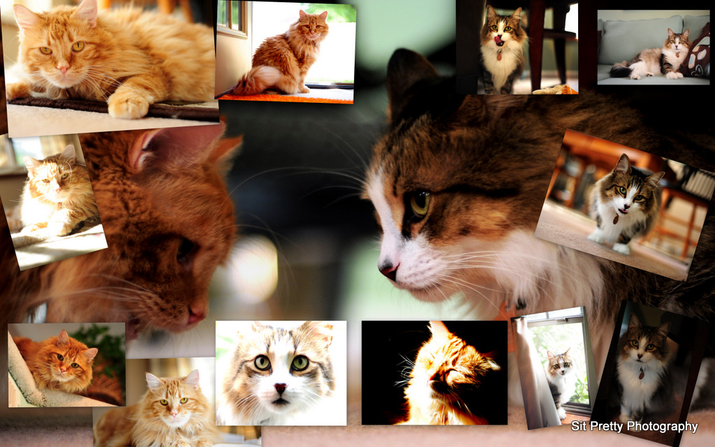 2 cats for AWA calendar